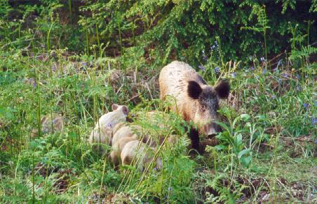 Wild boar sow with piglets