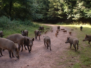 Wild boar in the Forest of Dean
