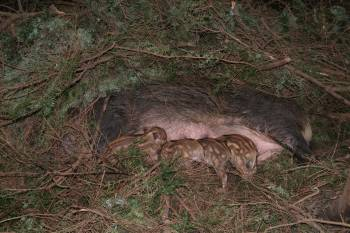 Farrowing nest