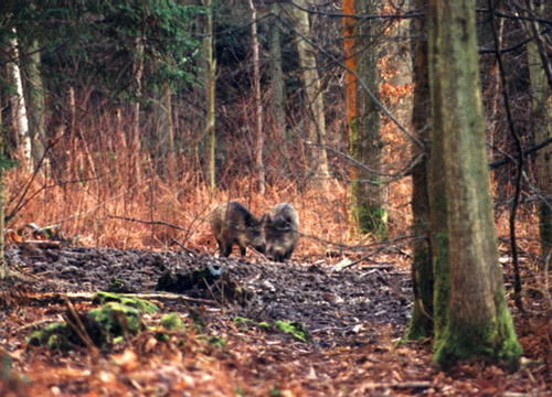 Wild boar in an East Sussex woodland