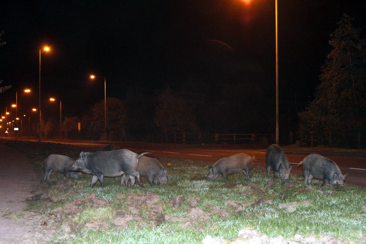 Wild boar rooting up grass verges