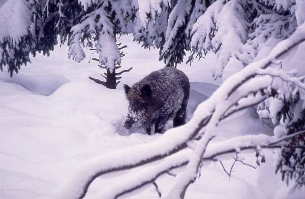 wild boar in Polish snow