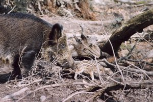 Wild Boar Sow and Piglet