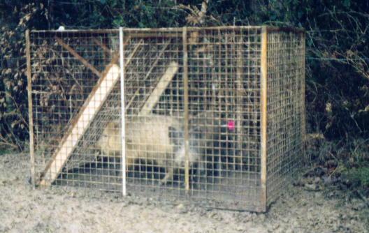wild boar in britain